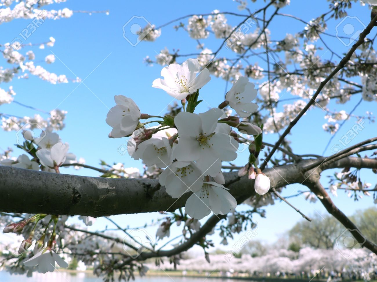 Photo Of Early Blooming Cherry Blossoms In Washington Dc During