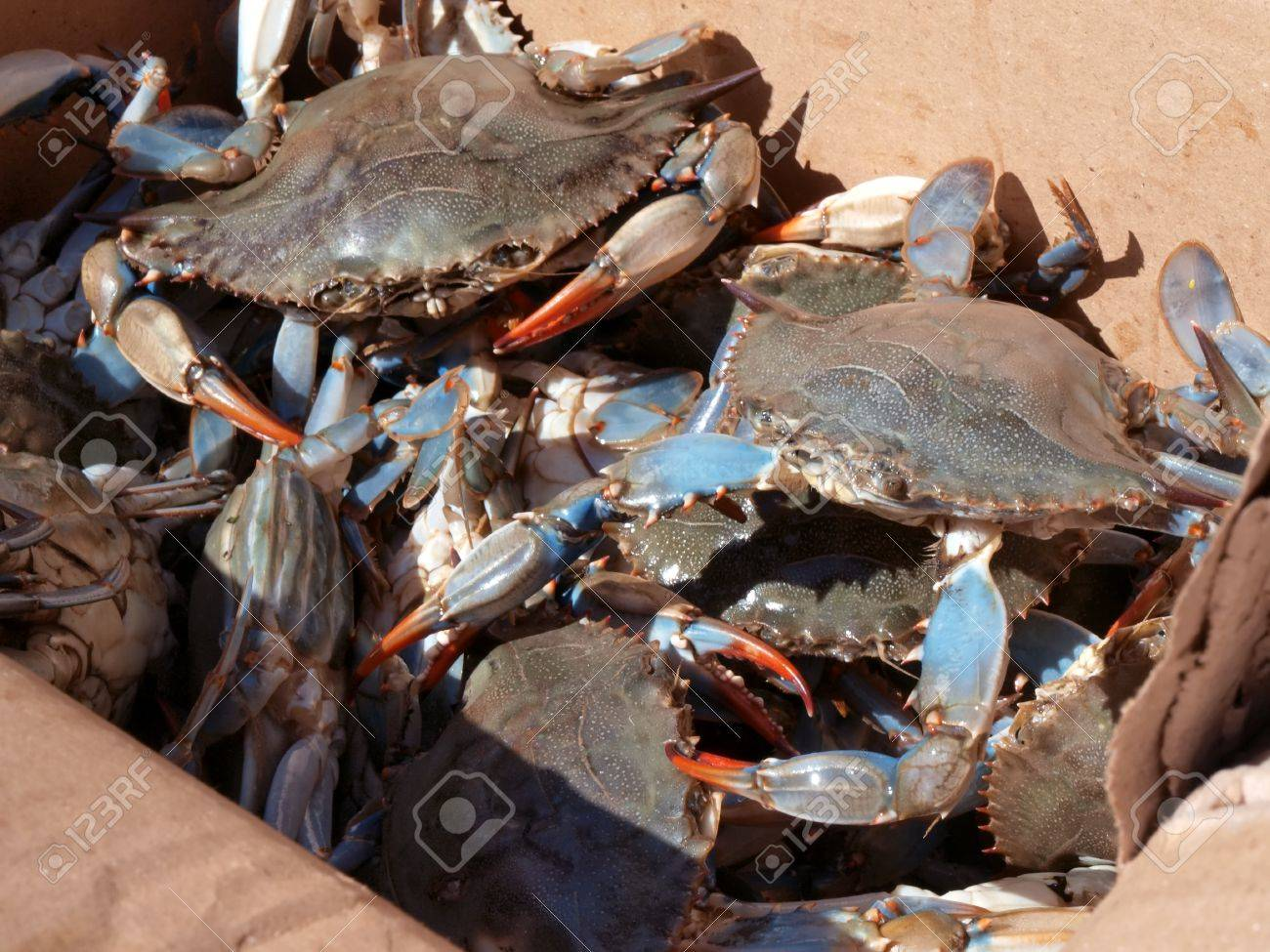 blue crab stock photos u0026 pictures royalty free blue crab images