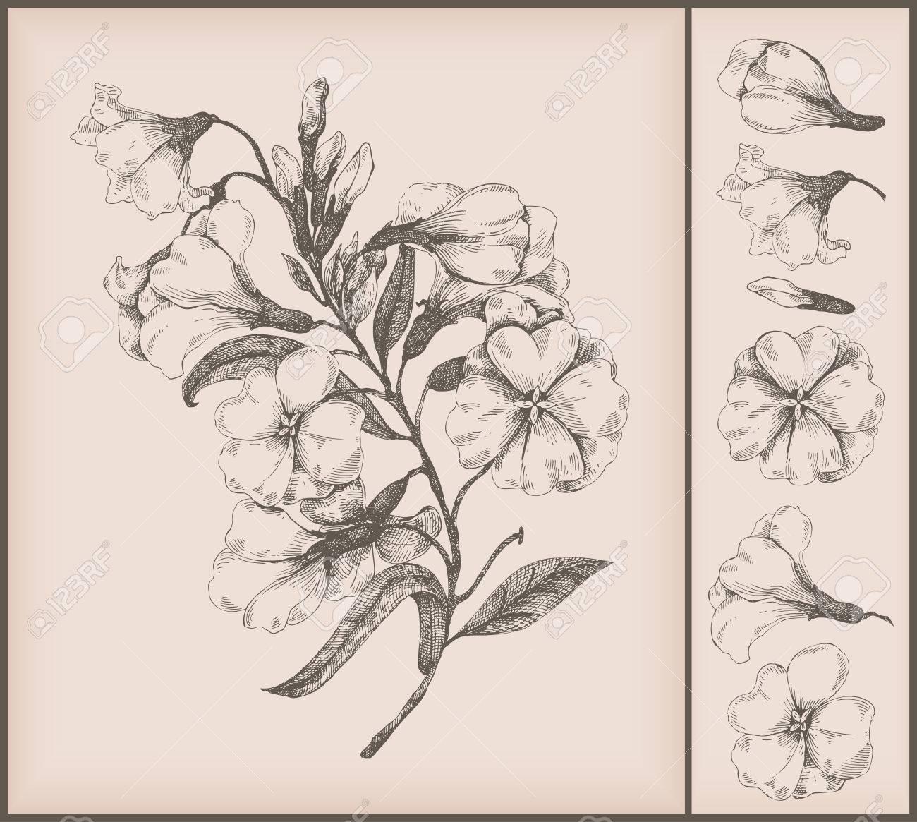 Vector - vintage flower drawing