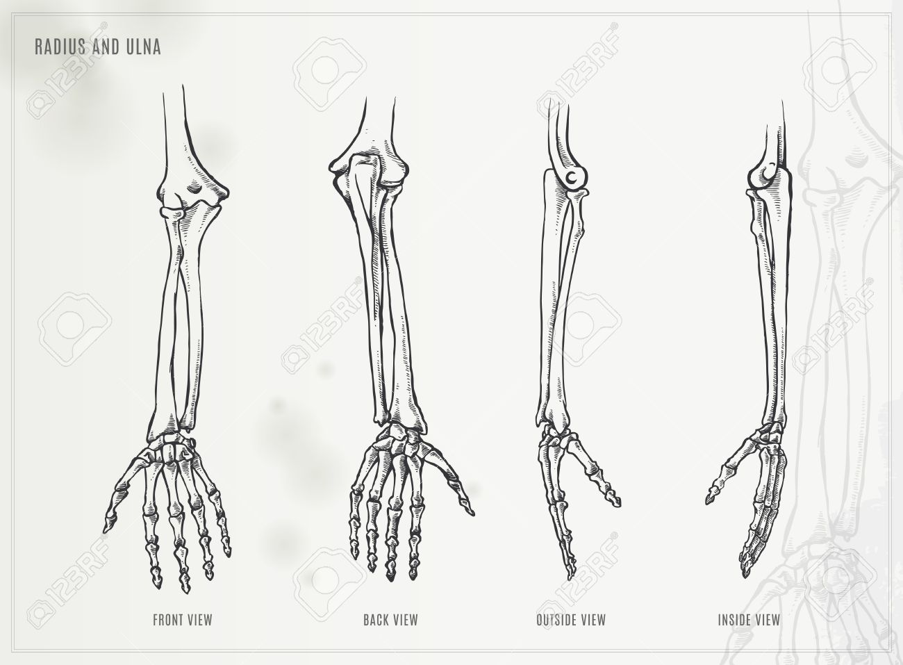 Ulna, Radius And Hand Bones Royalty Free Cliparts, Vectors, And ...