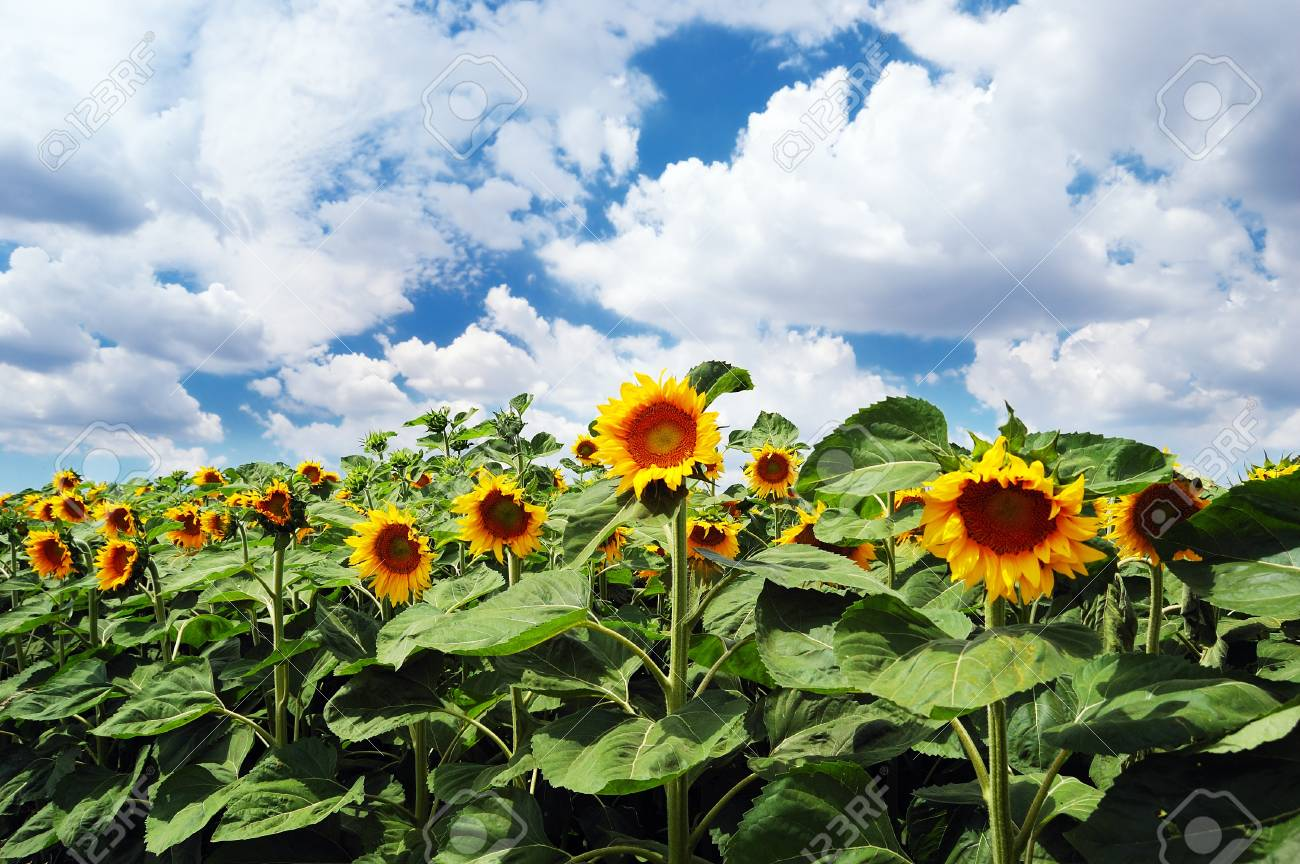 Field of sunflowers on a background of the cloudy blue sky Stock Photo - 14660012