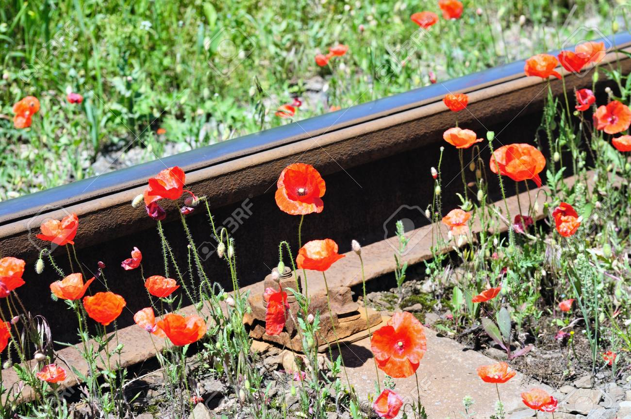 """Wild red poppies near railway. """"Nature and industry"""" concept. - 14665127"""