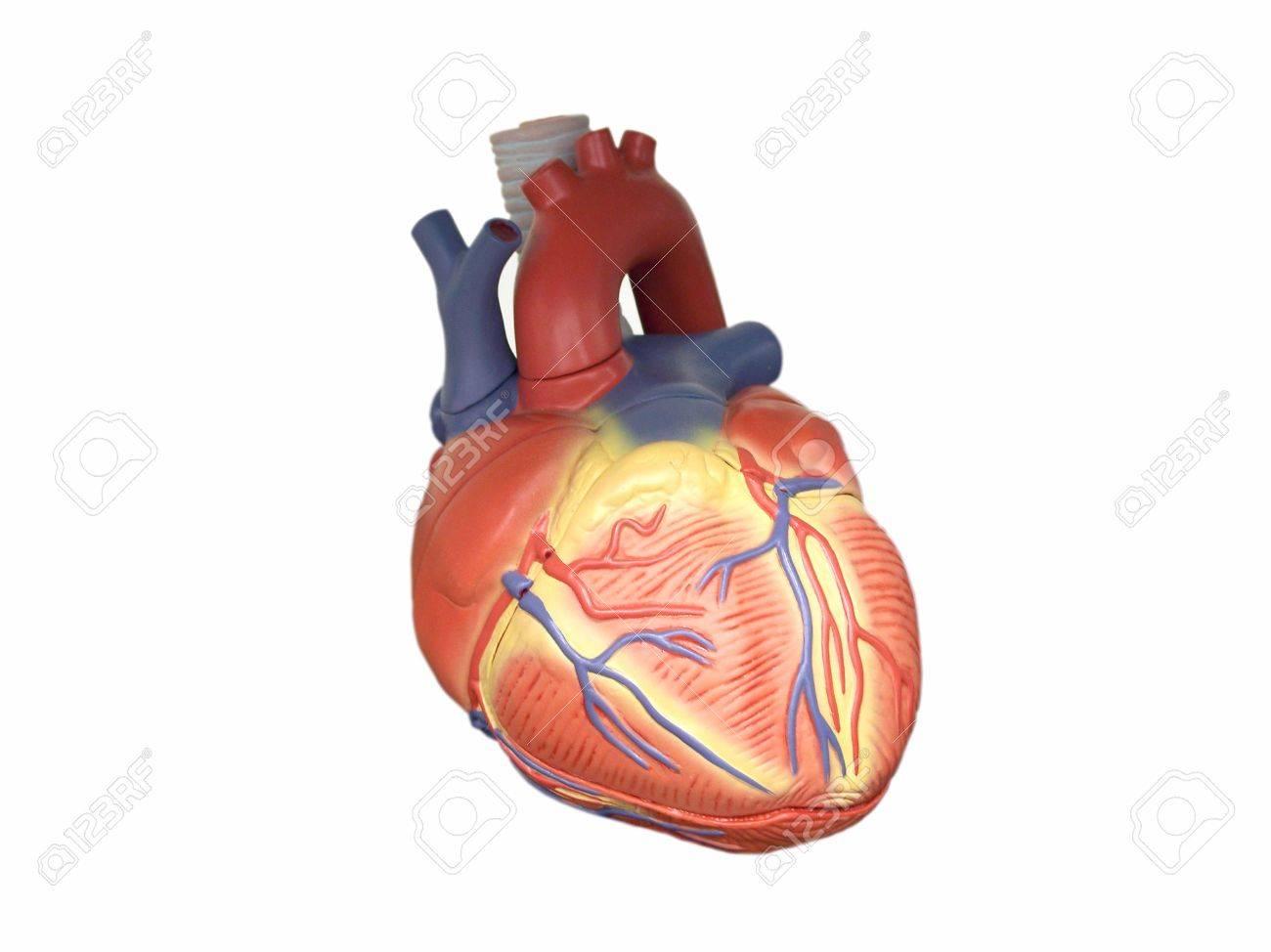 Anatomic Modell Des Menschlichen Herzens Isoliert Auf Weißem ...