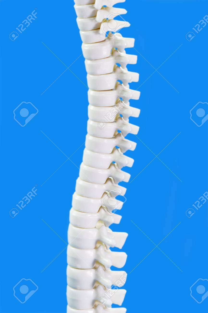 Human Backbone Model In Detail On Blue Background Stock Photo