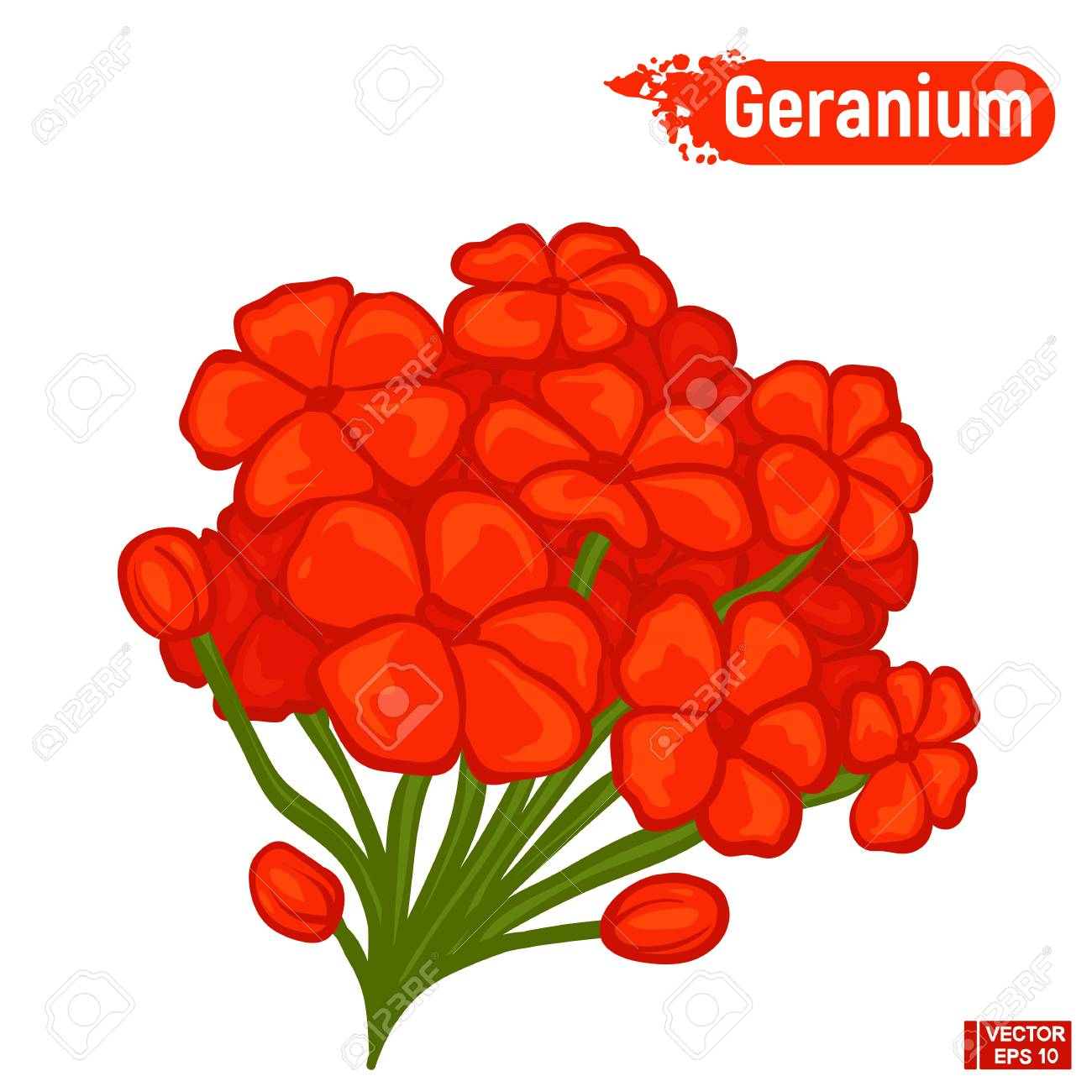 Vector Image. Bright Red Geranium Flowers. Beautiful Blossoming ...