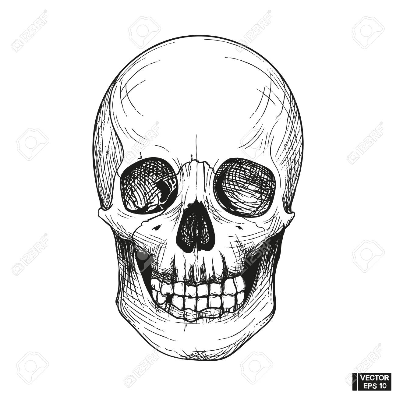 Vector illustration. Hand drawn anatomy human skull engraved style. Vintage halloween illustration. Skull with lower jaw - 144475316