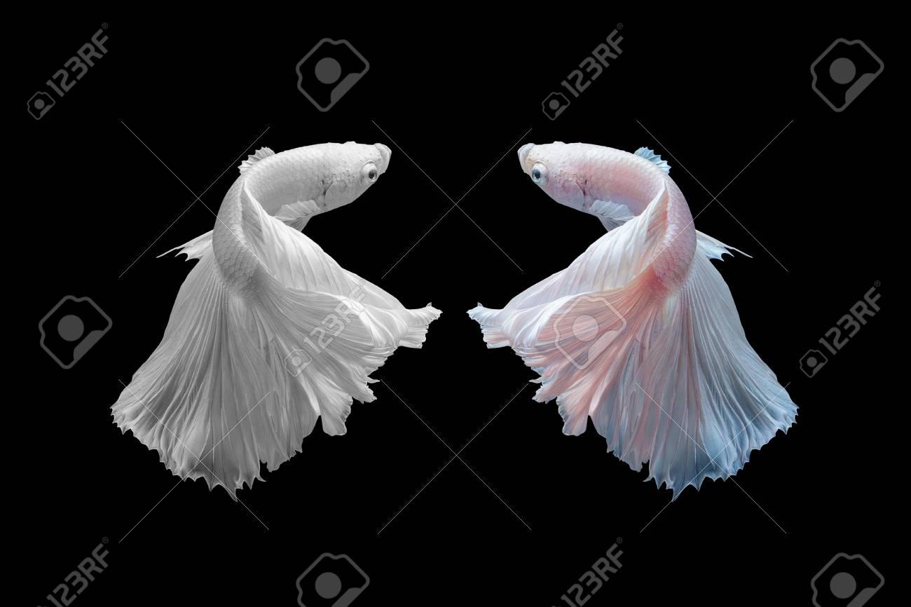 Betta Fisch, Siamesische Kämpfende Fische Schwärzen Und Mit Und ...