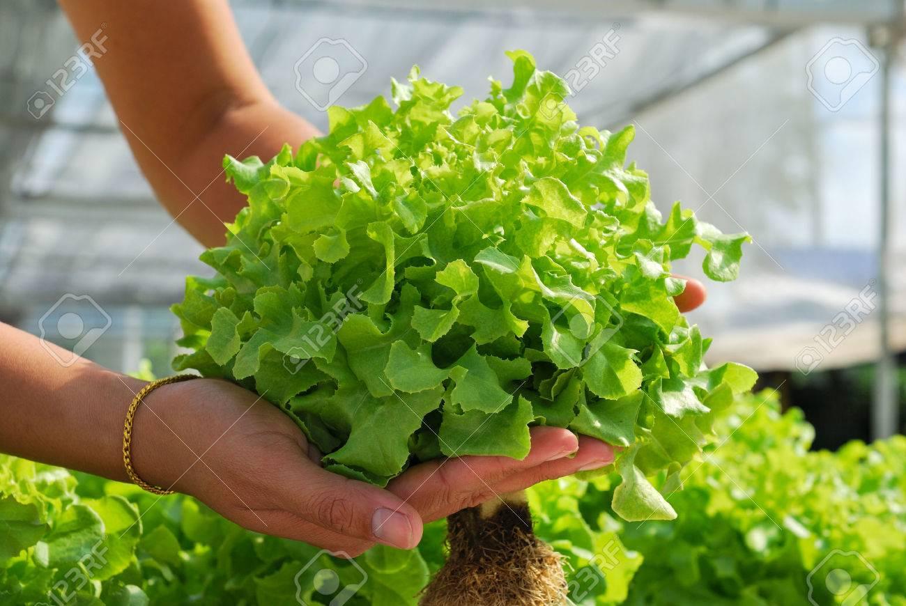 Red oak, green oak, cultivation hydroponics green vegetable in farm - 30227487