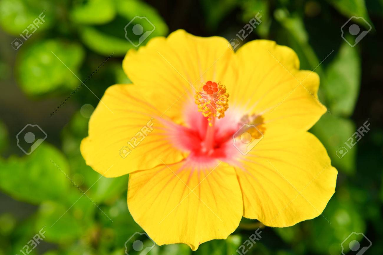 Hibiscus the national flower of malaysia stock photo picture and hibiscus the national flower of malaysia stock photo 36257540 izmirmasajfo