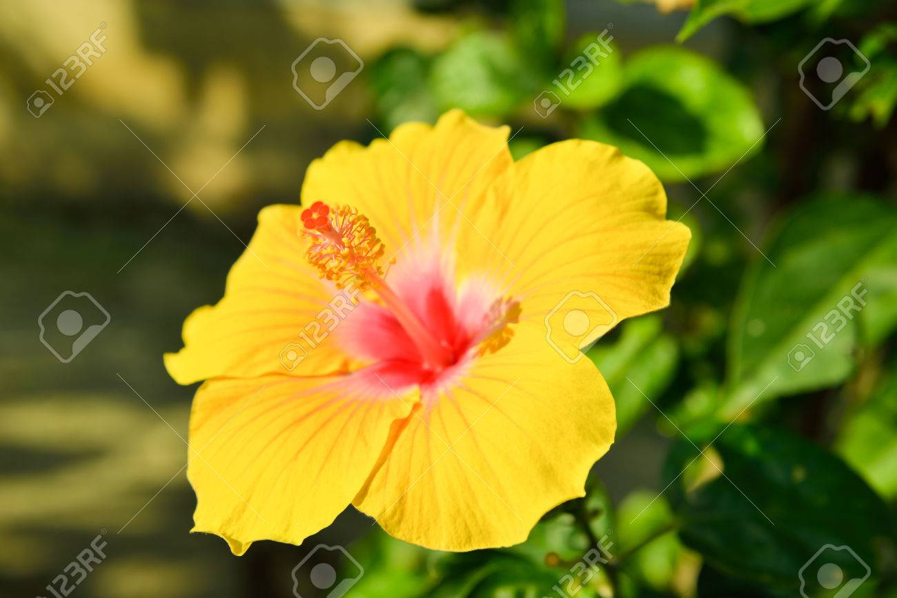 Hibiscus the national flower of malaysia stock photo picture and hibiscus the national flower of malaysia stock photo 36257541 izmirmasajfo Choice Image