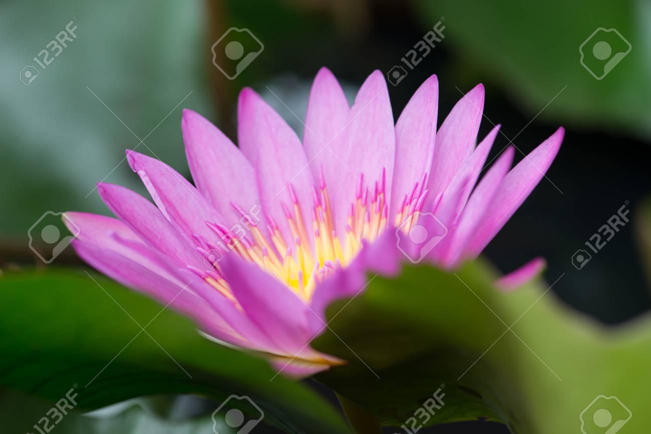 Gros Plan Couleur Rose Fleur De Lotus Fraiche Ou Fleur De Nenuphar