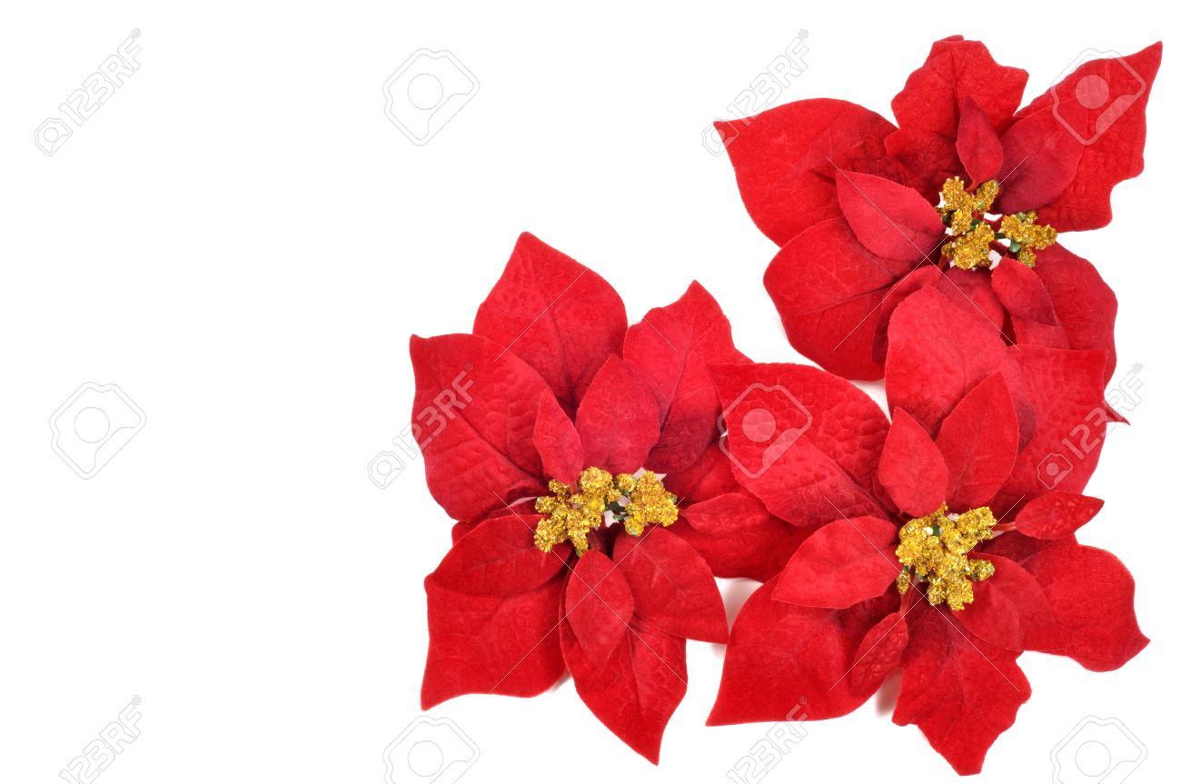 Weihnachten Blume Weihnachtsstern Auf Weißem Hintergrund Lizenzfreie ...