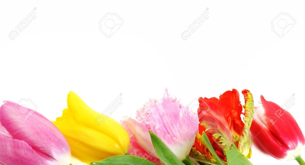 Spring tulip flowers border, close up, isolated on white background Stock Photo - 12843984