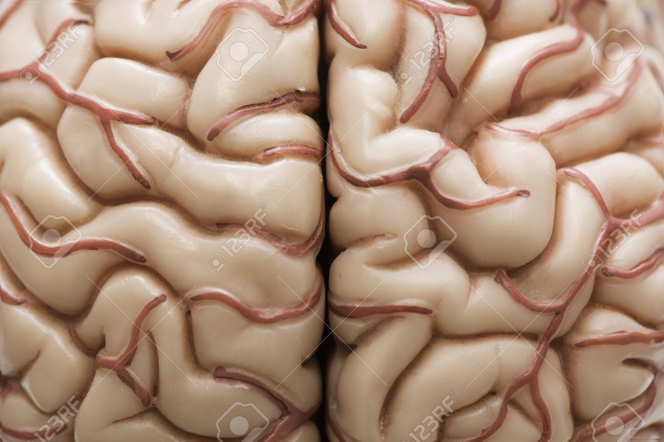 macrophotography of human brain model demontrating cerebral cortex and arteries stock photo 88141616