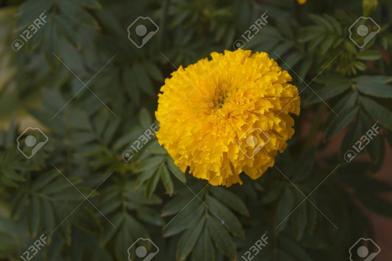 A Beautiful Yellow Marigold Flower In The Garden Stock Photo
