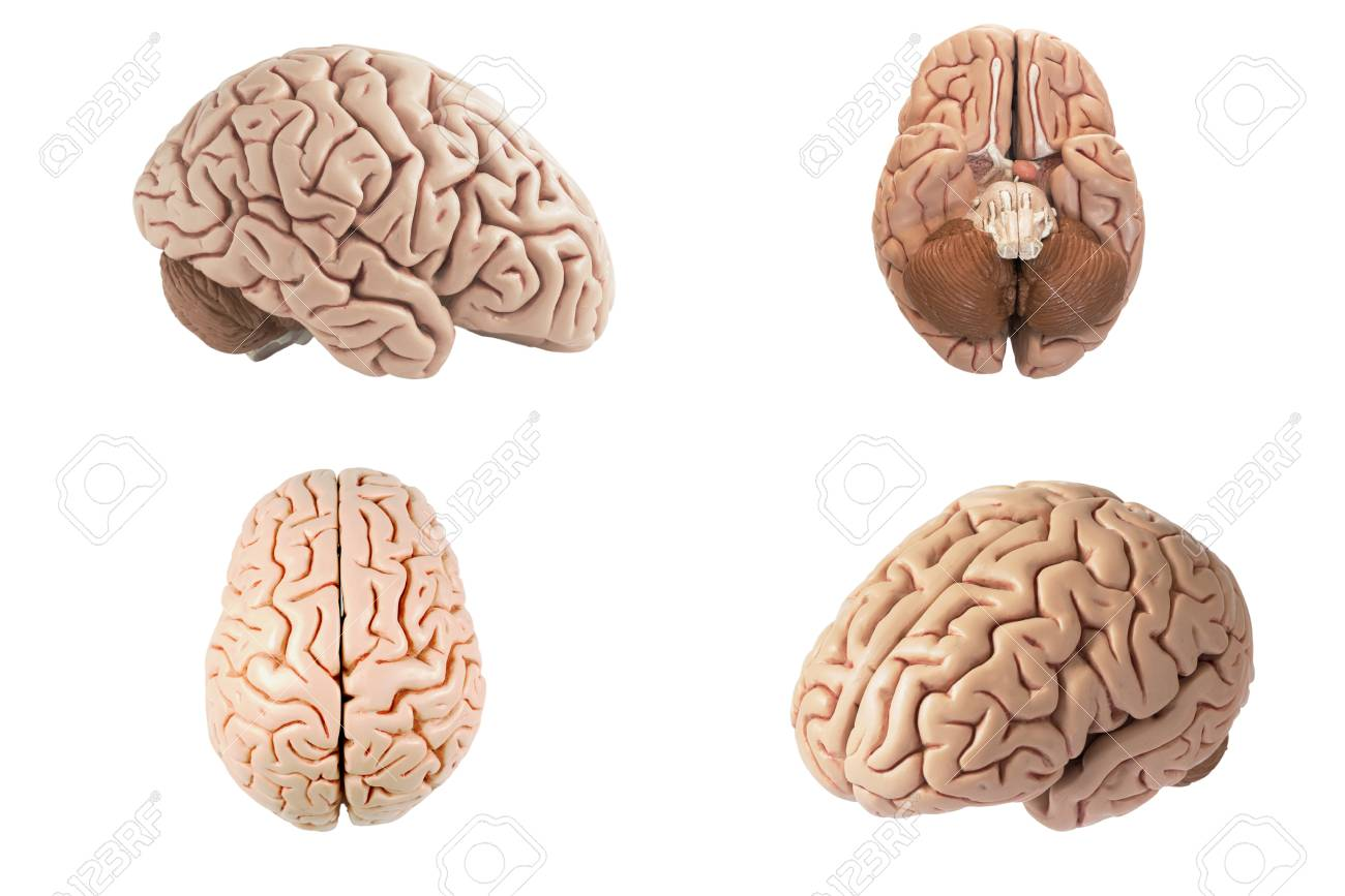 Artificial human brain model in four different view including artificial human brain model in four different view including top side bottom and oblique ccuart Gallery