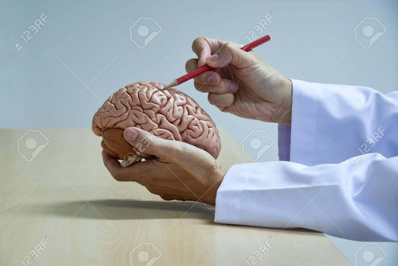 A Neurosurgeon Demonstrating Human Brain Model Anatomy By Using
