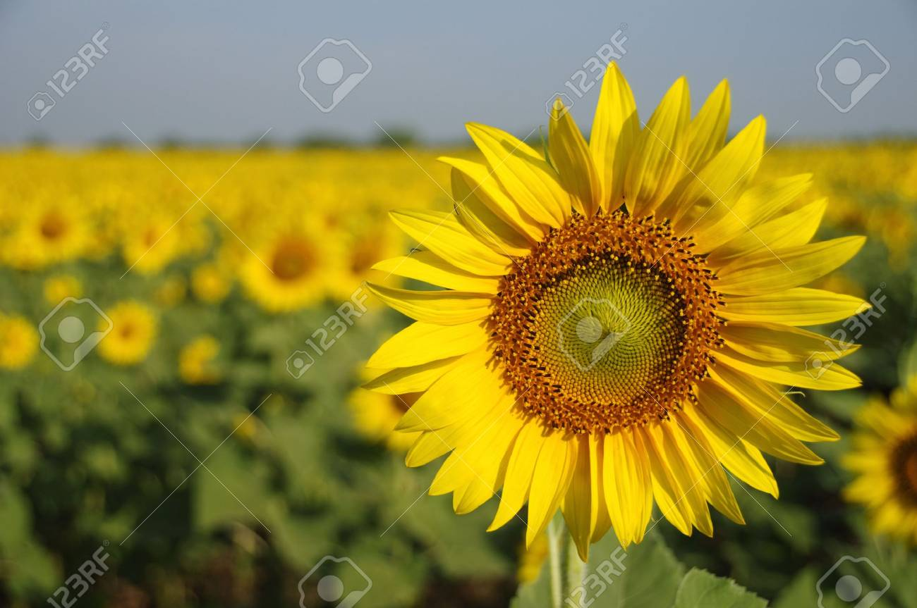 This is one of sunflowers in a farm, Saraburi province, Thailand. Stock Photo - 6881032