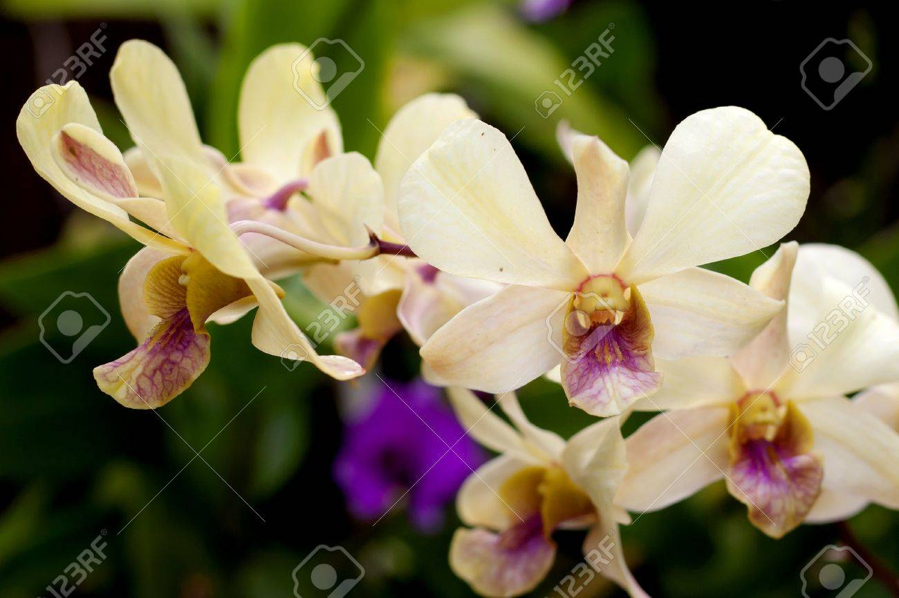 White orchid at the garden in Thailand Stock Photo - 13287365