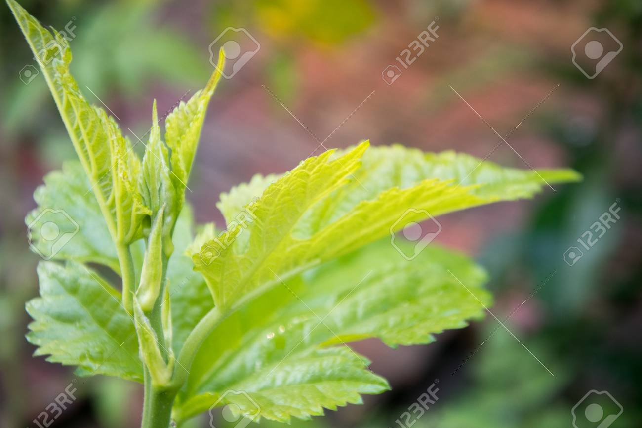 Mulberry Tree Top Green Color In Small Garden Stock Photo Picture