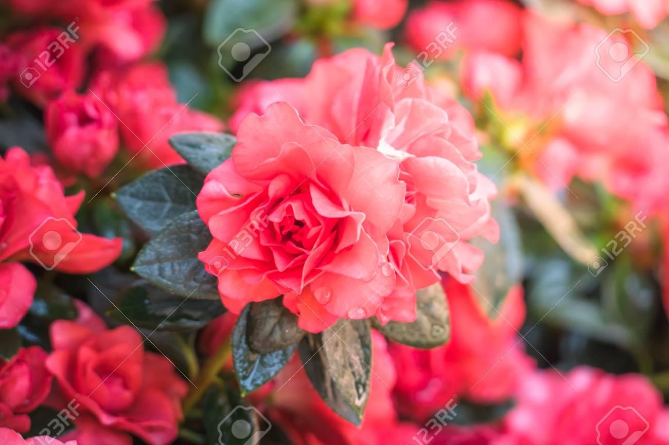 Hermoso Fondo Con Flores Rosas Fondo De San Valentin El Fondo