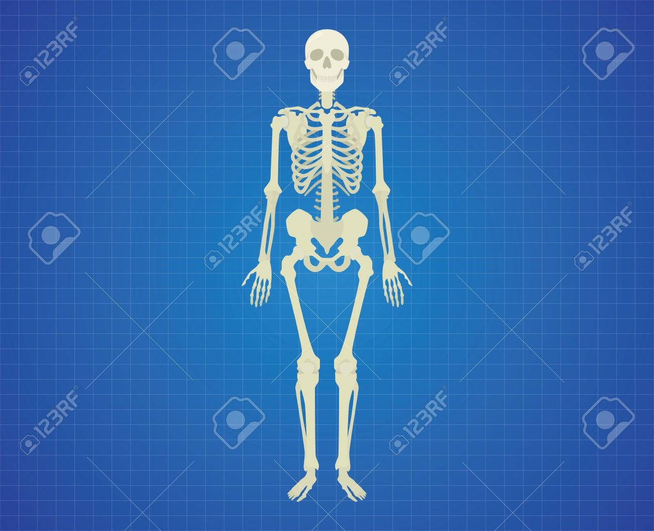 Esqueleto Humano Con El Color Blanco Solo Vector Aislado Ilustración ...