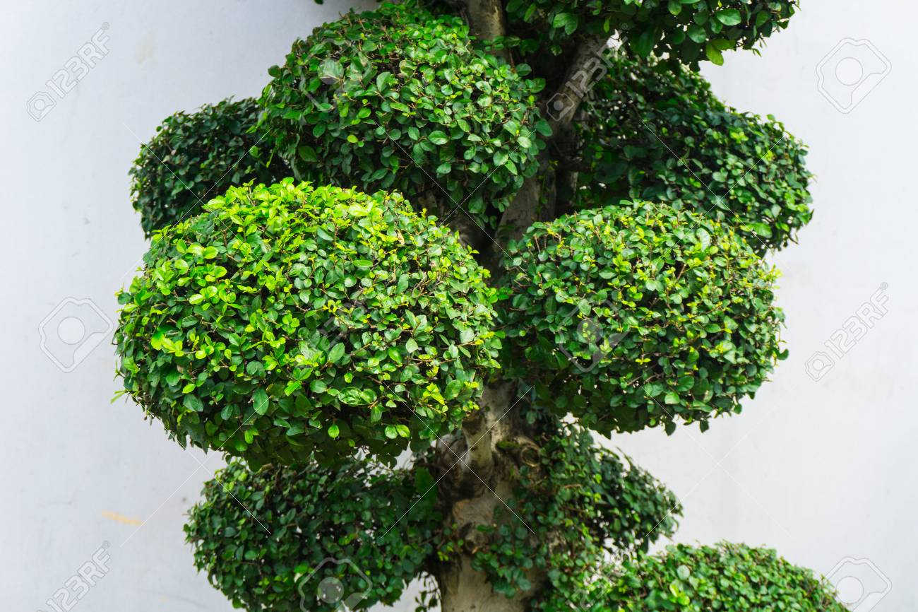 Bonsai Tree With Green Leaves And White Wall As Background Photo
