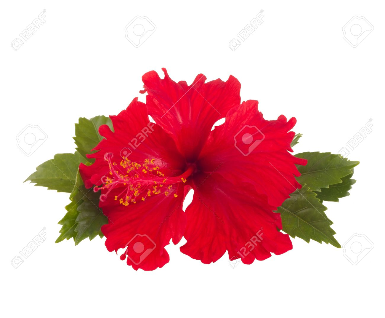 a red hibiscus flower isolated on white background - 14643944