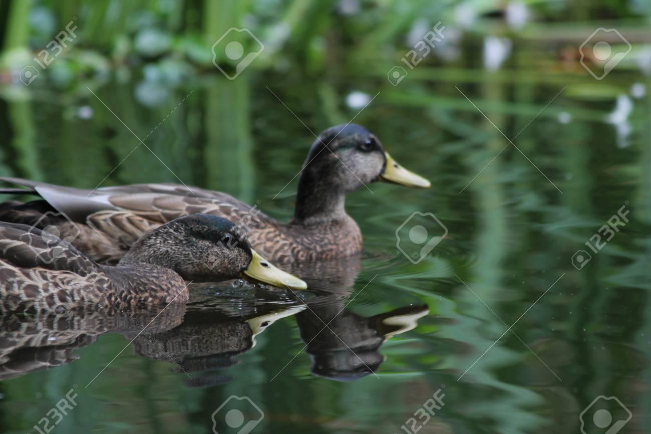 ducks at the lake Stock Photo - 10487043