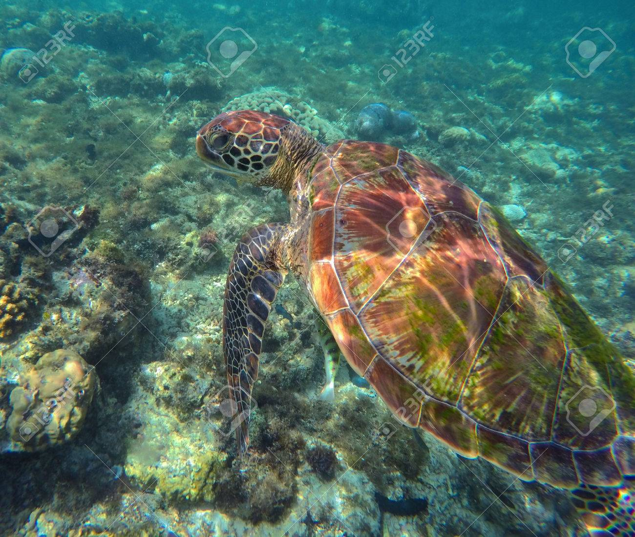 Sea Turtle In Blue Water Green Sea Turtle Diving In Coral Reef