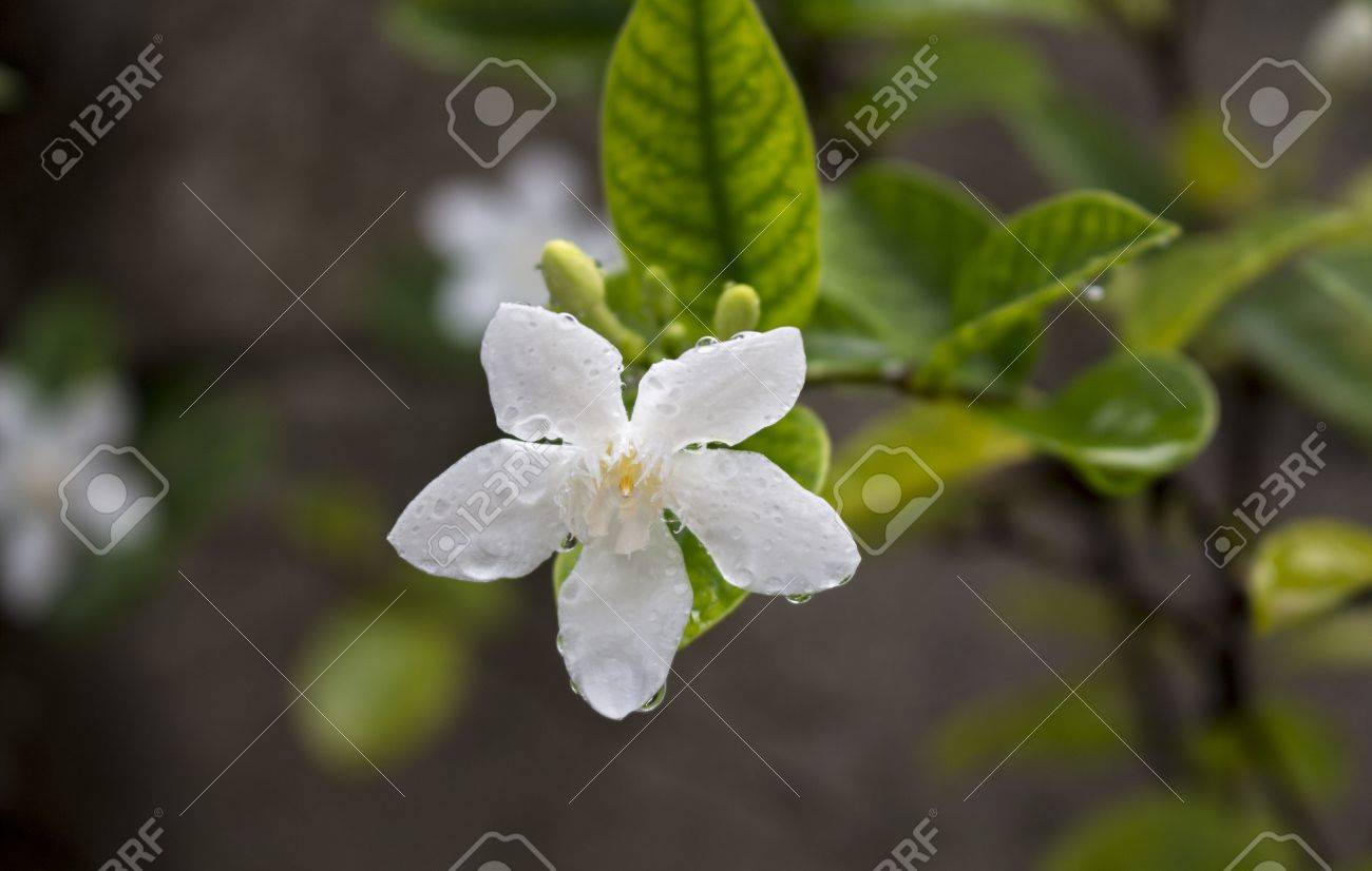 White tropical flower under the rain tropical plant bloom macro stock photo white tropical flower under the rain tropical plant bloom macro photo green leaf and white flower with water drops closeup mightylinksfo