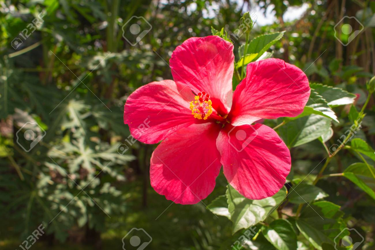 Pink flower on tropical background  Bright hibiscus flower on