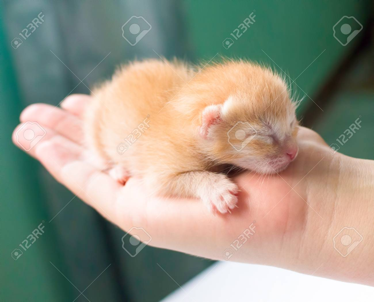 Newborn Kitty In Hand New Born Baby Cat Red Kitty In Caring
