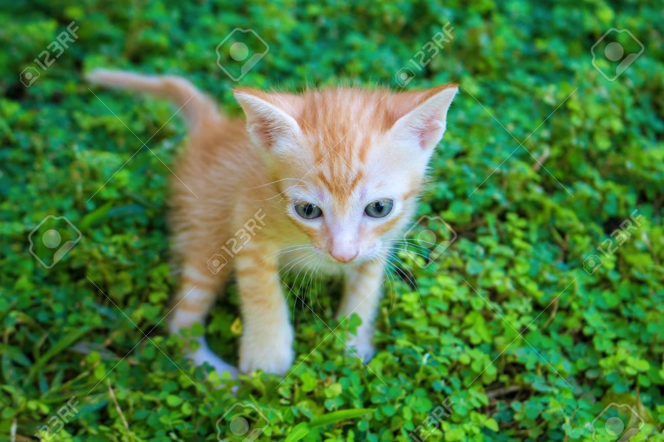 Pequeño Gatito Rojo En Hierba Verde Vida Al Aire Libre De Gato Doméstico Retrato De Bebé Felino Con Vista Curiosa Naughty Gatito Cazando Precioso Gatito Naranja Mascota Doméstica Explorar Al Aire Libre