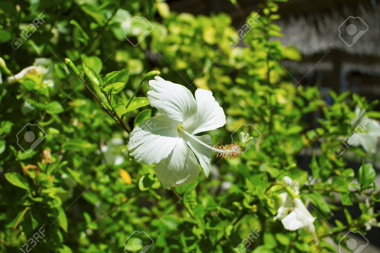 Tropical Flower White Hibiscus On Green Bush Flower With White