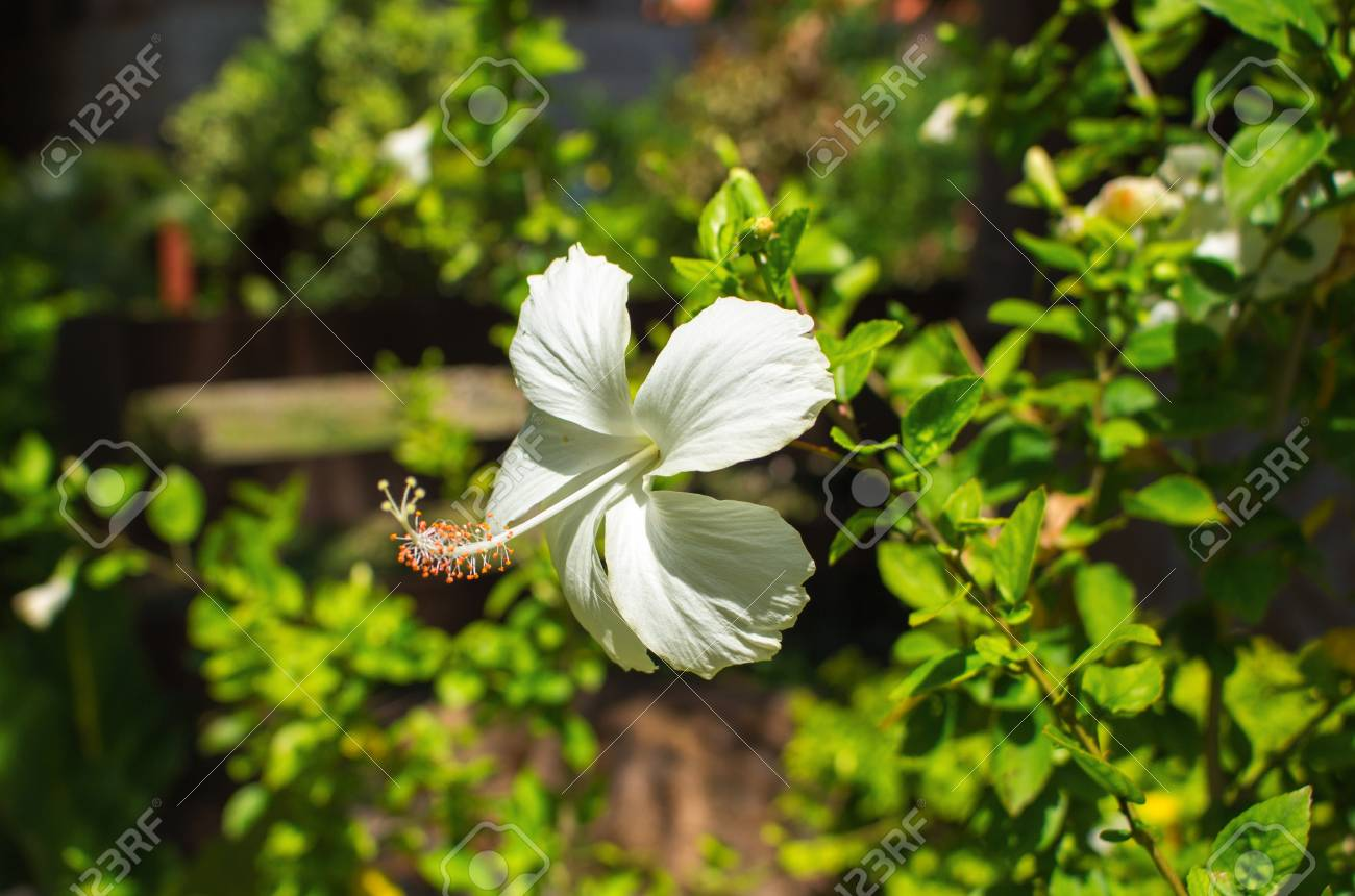 White Hibiscus Flower With Gentle Petals Exotic Flower On Green