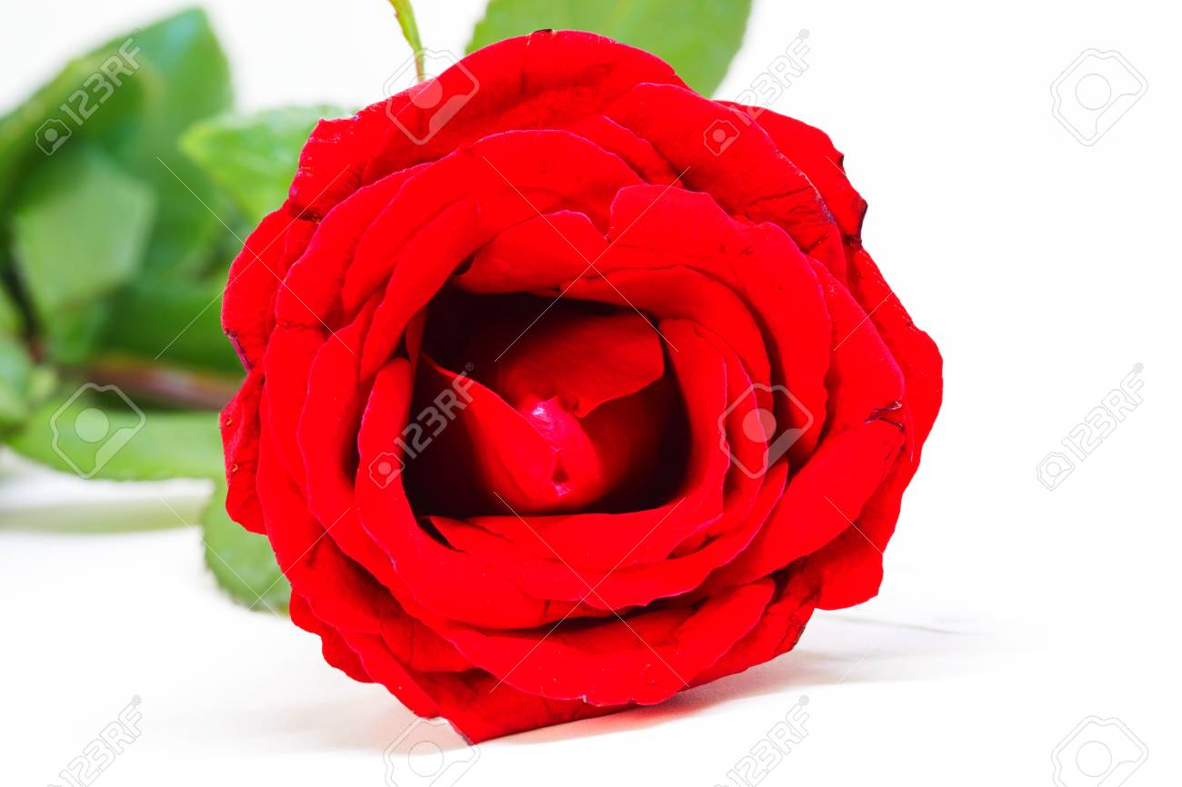 Red rose on white background beautiful blossom with velvet petal red rose on white background beautiful blossom with velvet petal hot pink flower banner mightylinksfo