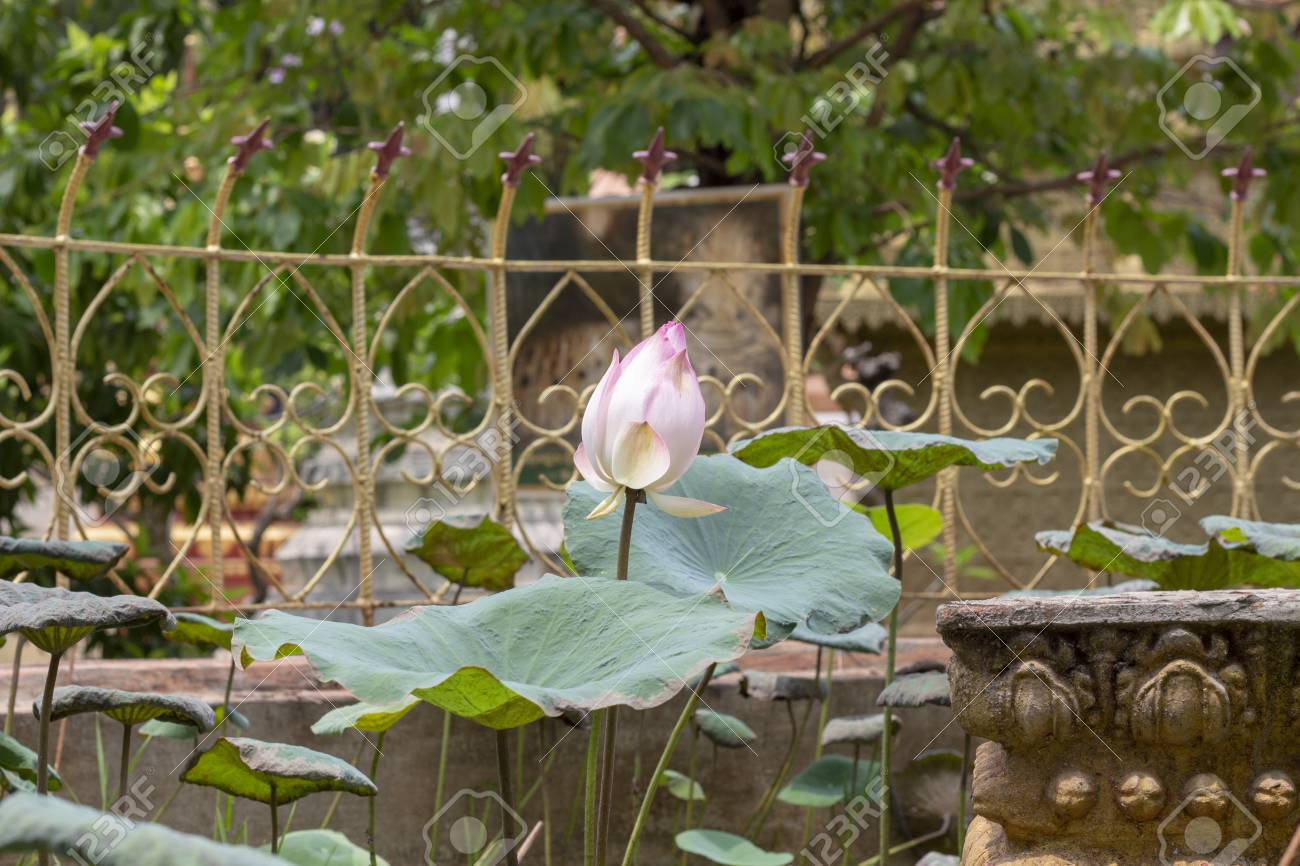 Pink And White Lotus Flower In Buddhist Temple Of Siem Reap Stock