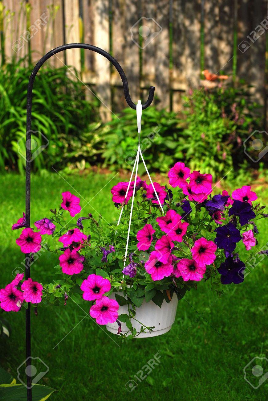 Hanging Basket Of Blooming Purple Petunias Stock Photo Picture