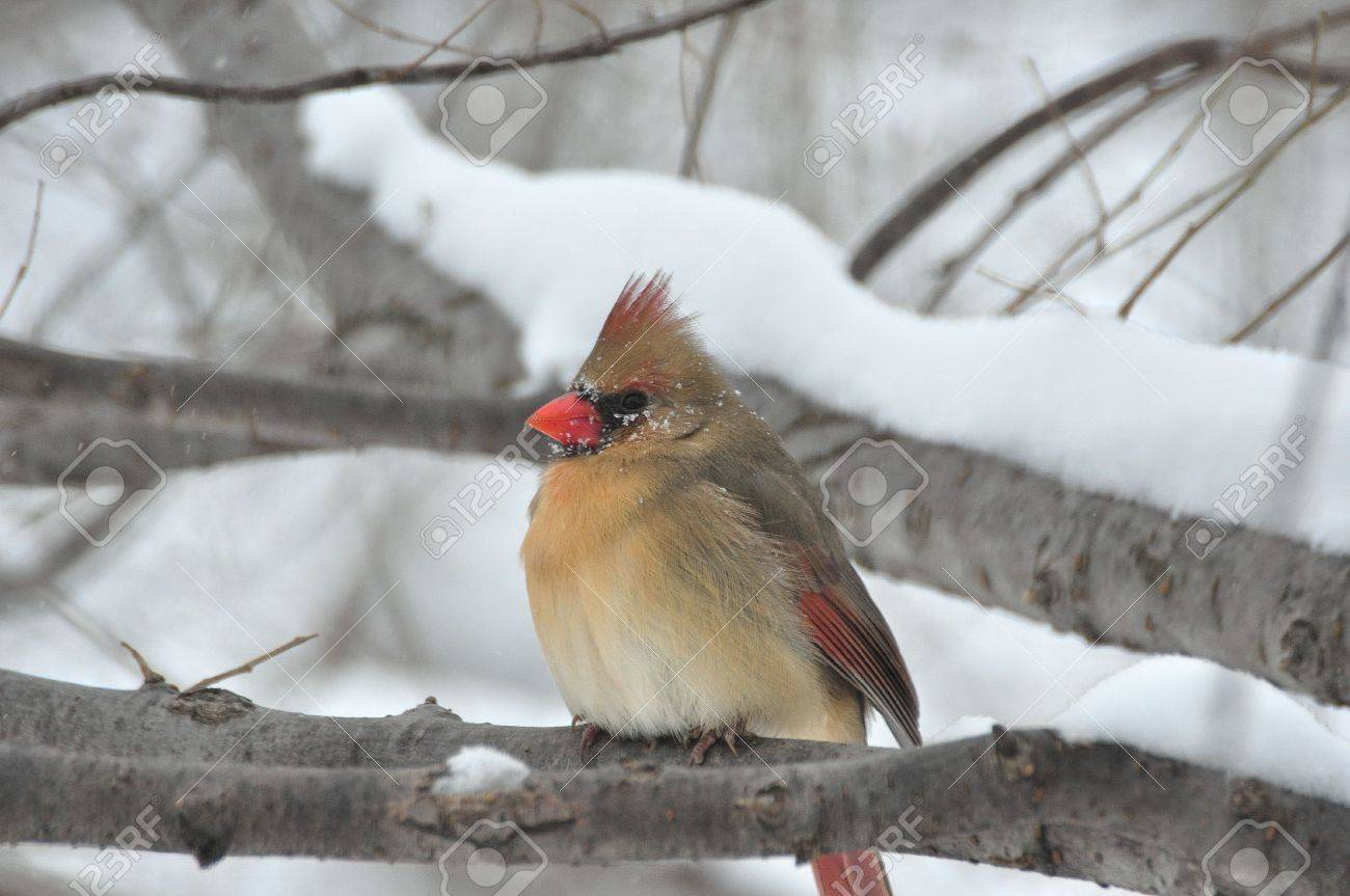 Northern Cardinal,Female,in Winter Stock Photo - 12739617