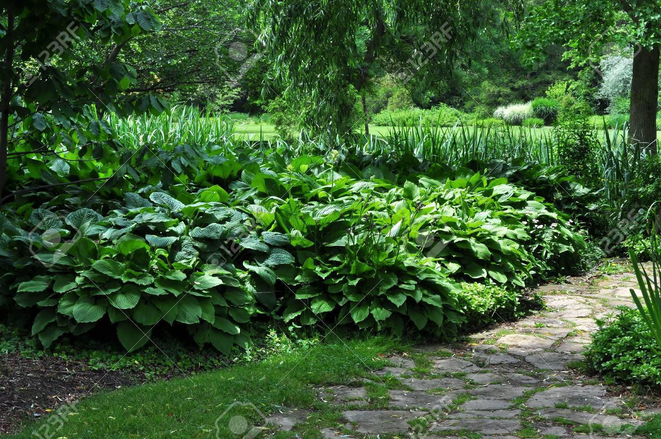 Botanical Garden Featuring Large Hosta Plants Stock Photo Picture