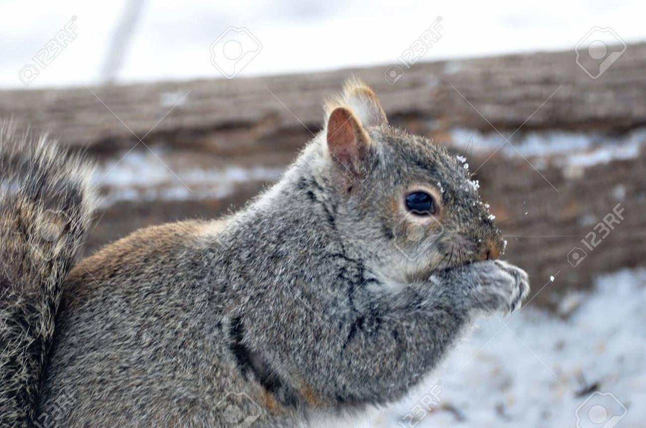 Gray Squirrel - 36309676