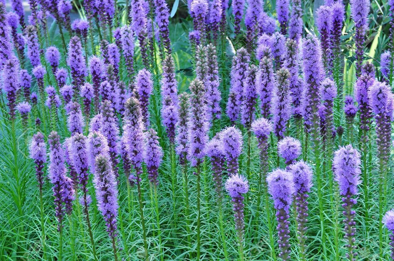 Purple Gayfeather Flowers - 43552622