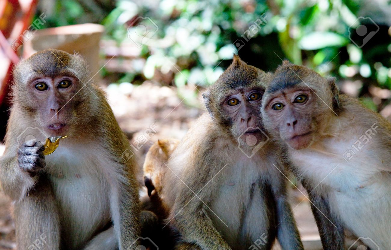 three monkeys images  Portrait Of Three Monkeys Stock Photo, Picture And Royalty Free ...