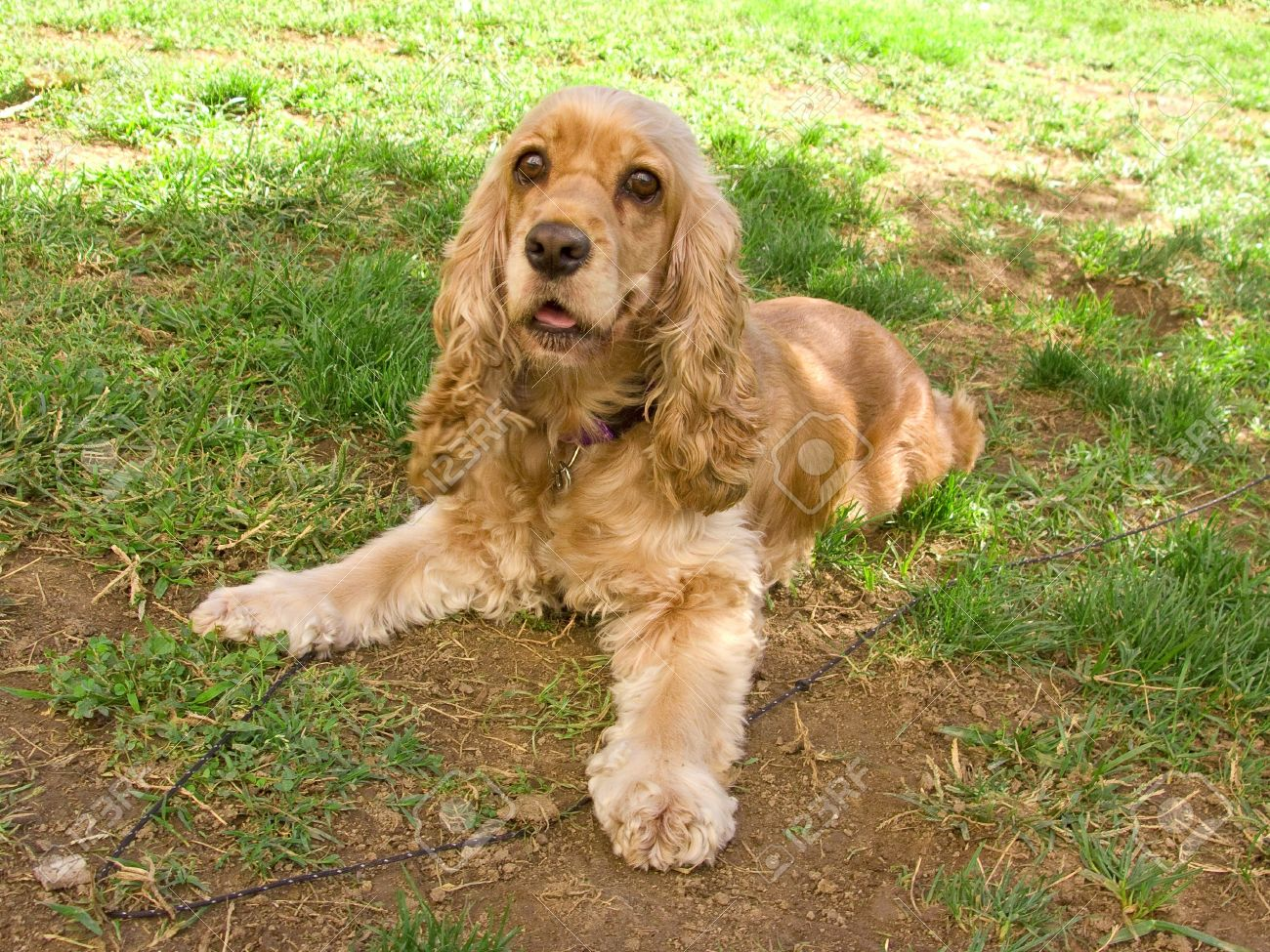 american cocker spaniel dog stock photo picture and royalty free