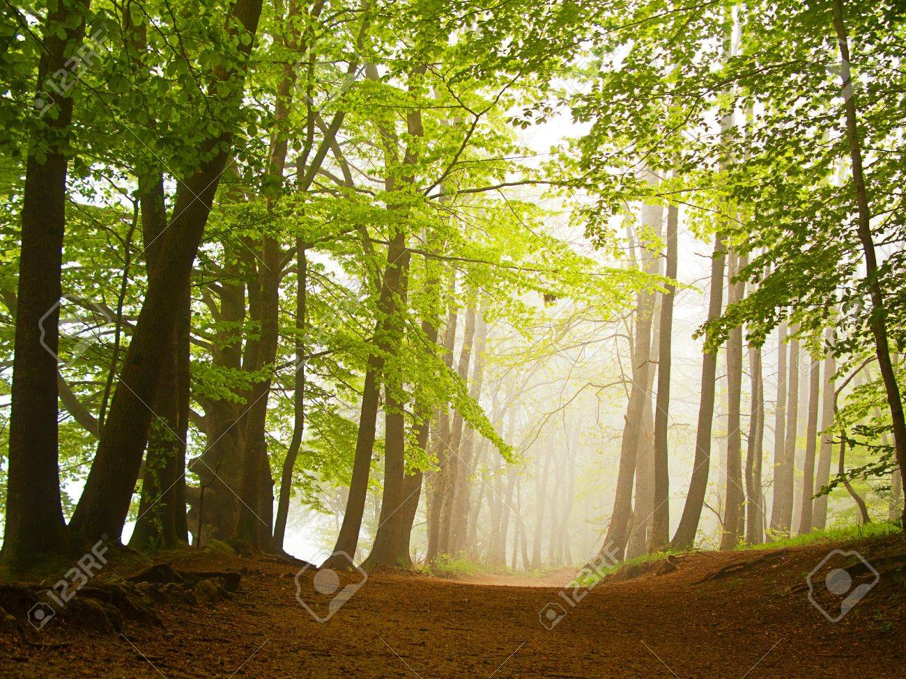 A green forest in spring covered by fog in the morning Stock Photo - 10659922