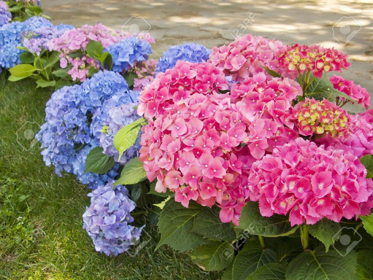 Hydrangea Pink And Blue Flowers At The Garden Stock Photo Picture