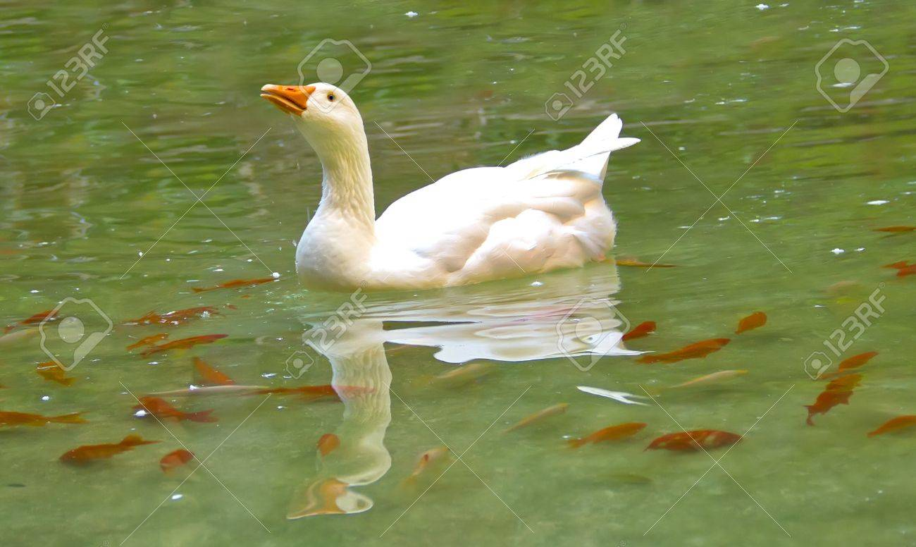 White goose swimming in a lake, and some orange fishes around her Stock Photo - 14635192
