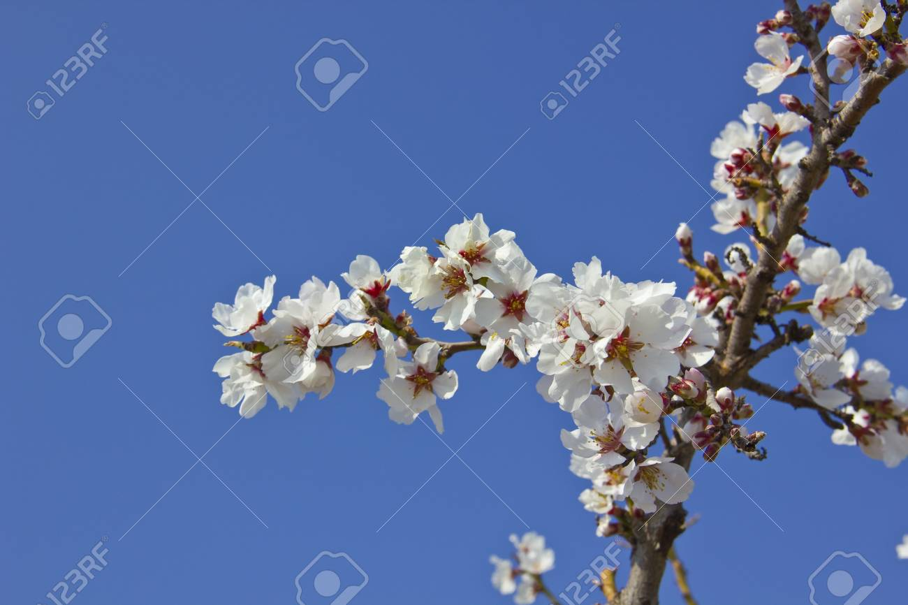 White cherry tree detail at spring Stock Photo - 16910232