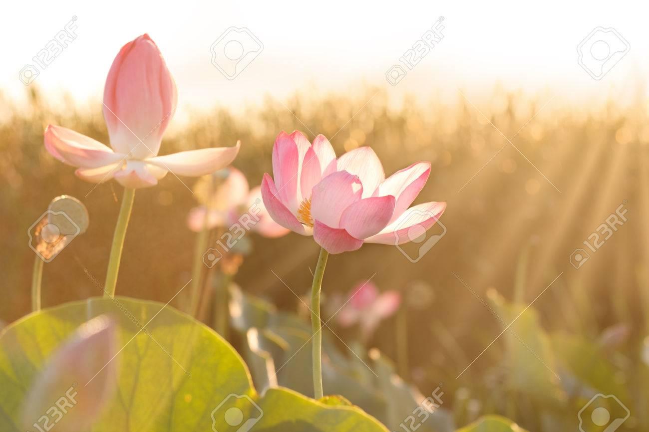 Towards The Sun Flowers Of Lotus Nelumbo Nucifera Blossom